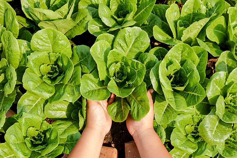 Farmers' hands hold organic green salad vegetables in the plot